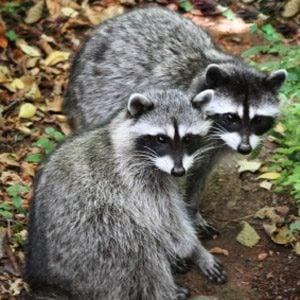 4. Raccoons