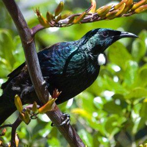 Cool birds of NZ #5: Tui