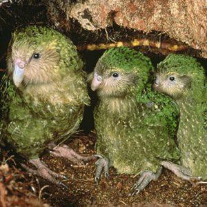 Coolest birds #6: Kakapo