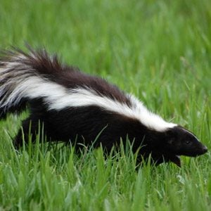 8. Skunks