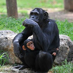 10. Learn more about how you can help chimpanzees by visiting releasechimps.org.