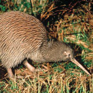 Cool birds of NZ #10: Kiwi