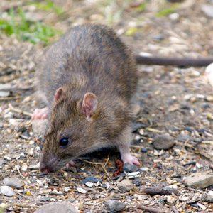 10. Rats