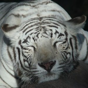 Montecore the Tiger
