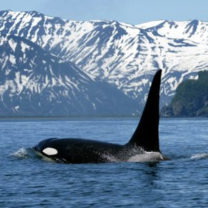 Whale Watching in North America #1: Orcas (Killer Whales)