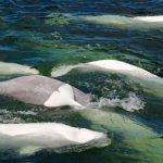 Into the Wild: Swimming with Beluga Whales in Churchill, Manitoba