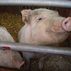1. Pigs