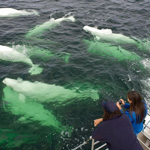 Churchill, Manitoba is Beluga Whale Central