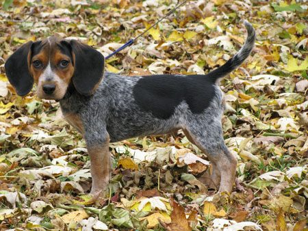 Our little rascal. Knopa is a bluetick beagle.