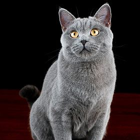 British and American Shorthairs