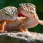 Low Maintenance vs. High Maintenance - Good Beginner Species -  Leopard Gecko