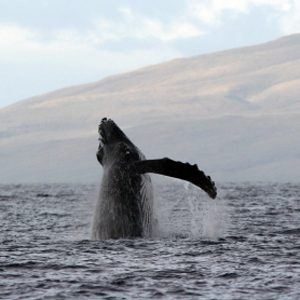 Whale Watching in North America #3: Humpback Whales