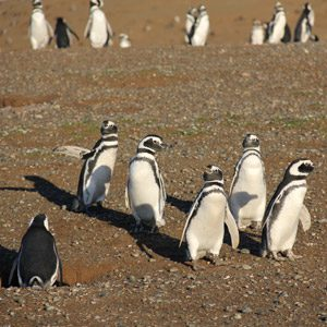 3. Visit the Penguin Colony in Chile's Strait of Magellan