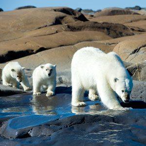 Polar Bear Viewings in Churchill, Manitoba
