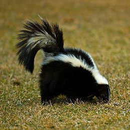 Things to do with mustard #4: Remove skunk smell from car