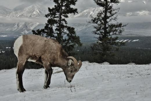 Snow Grazing