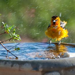 Vegetable Oil Facts: Control Mosquitoes in the Birdbath