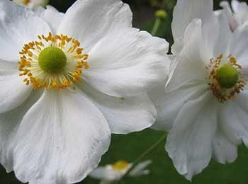 Japanese anemone (Anemone x hybrida)