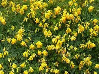 Yellow corydalis (Corydalis lutea)