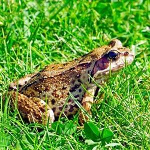 6. Rayne Frog Festival
