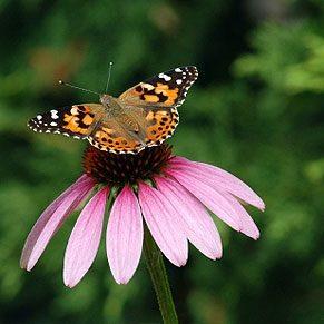 Bring Birds & Butterflies to Your Garden