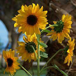 Sunflowers (Helianthus)