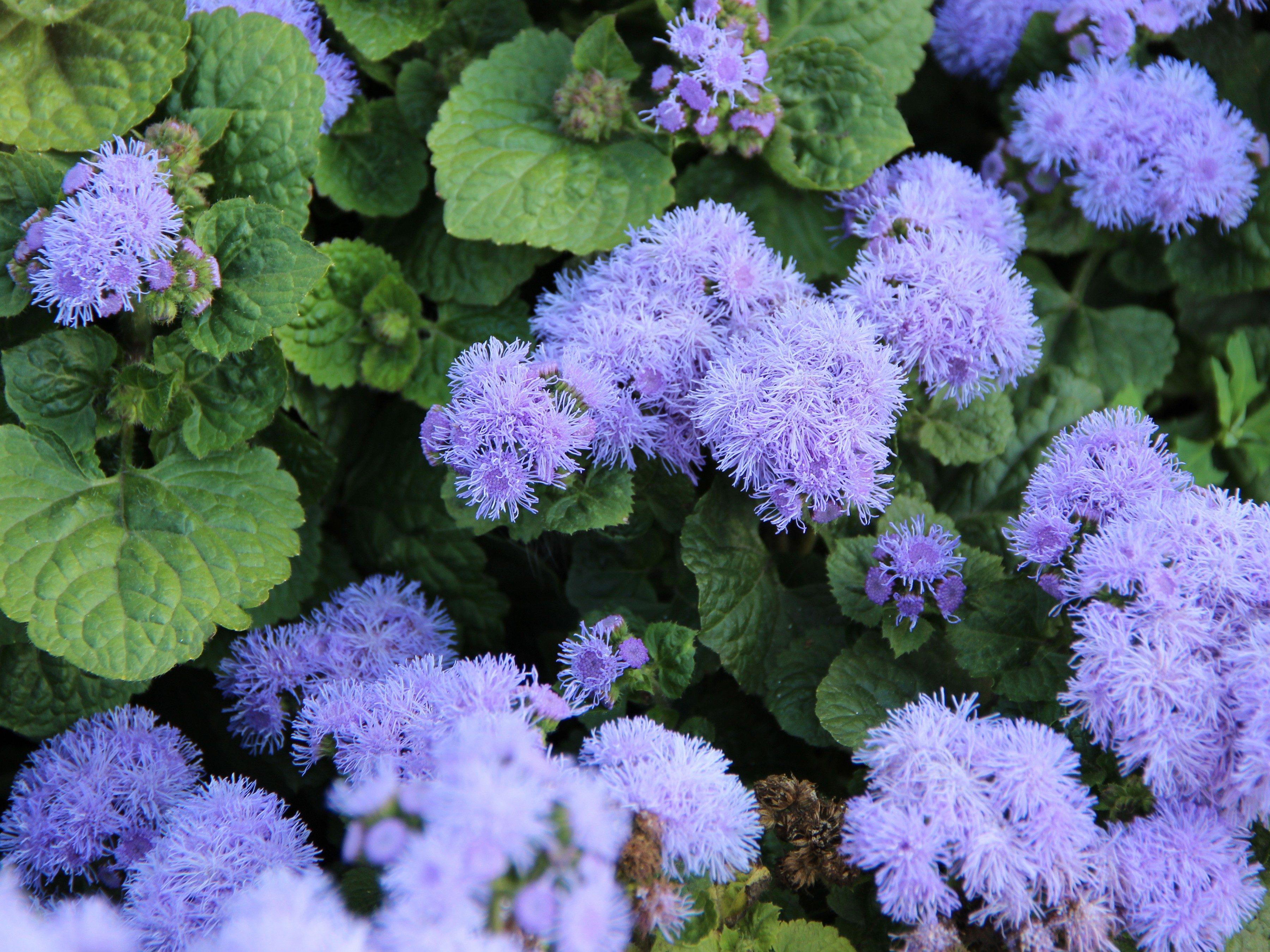 8 annuals that are perfect for container gardening 5 ageratum izmirmasajfo