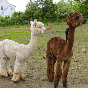 5. Cozy Up To A Charlevoix Alpaca
