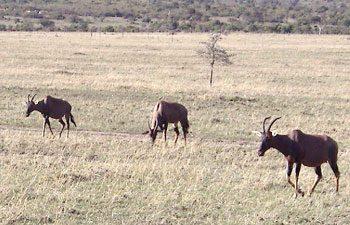 10. Antelope