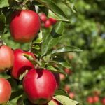 Landscaping Tips for Fruit Trees