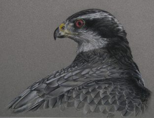 Goshawk Colour Pencil Study