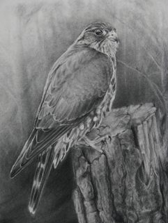 Merlin Sketch in Charcoal
