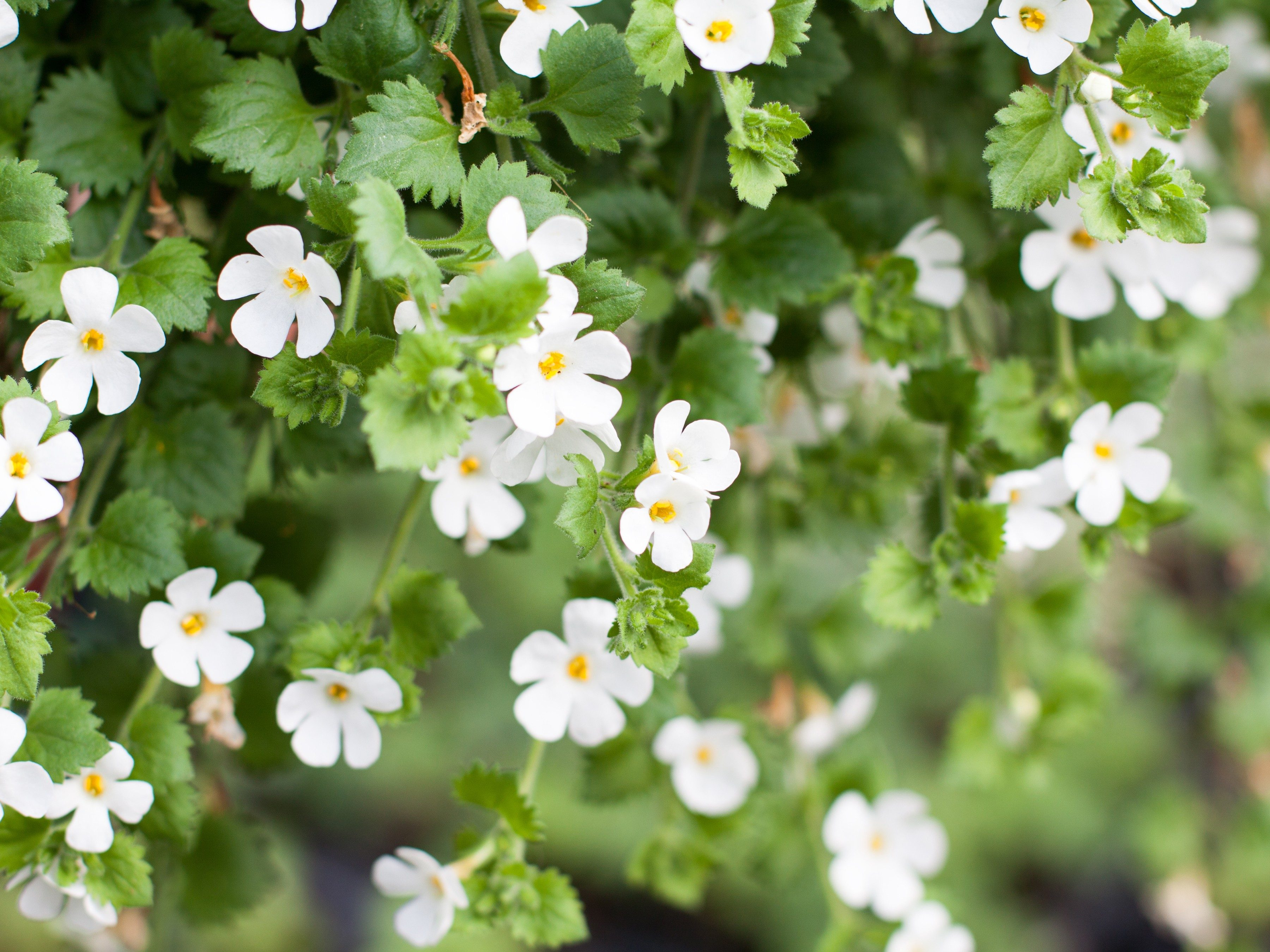 8 annuals that are perfect for container gardening 2 bacopa izmirmasajfo