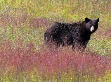 Bears and Berries - Vernon, British Columbia