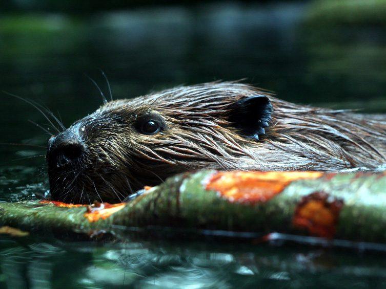 Canada: Boasting of Beavers