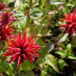 Bee Balm in the Landscape