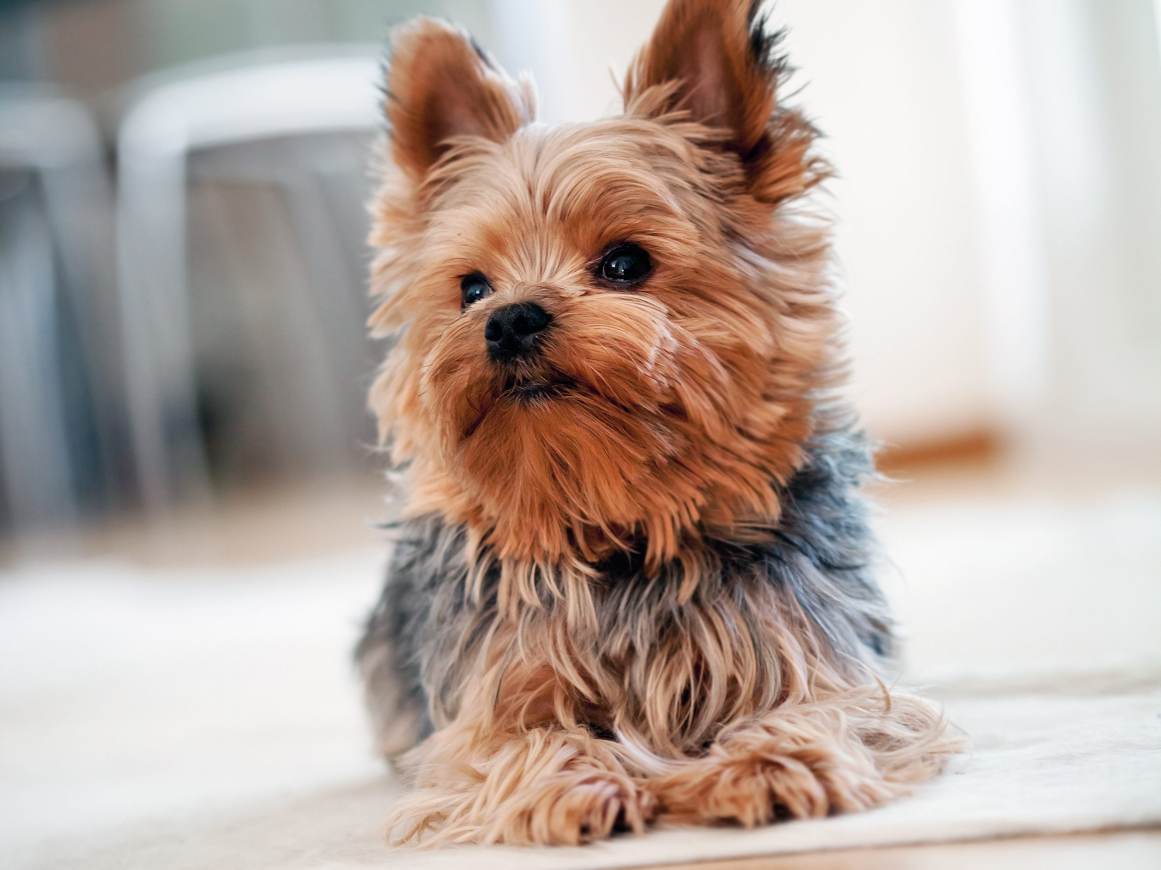 Beauteous 80 apartment dogs big design inspiration of the for Best little dogs for apartments