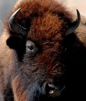 5. Wild American Buffalo or Bison