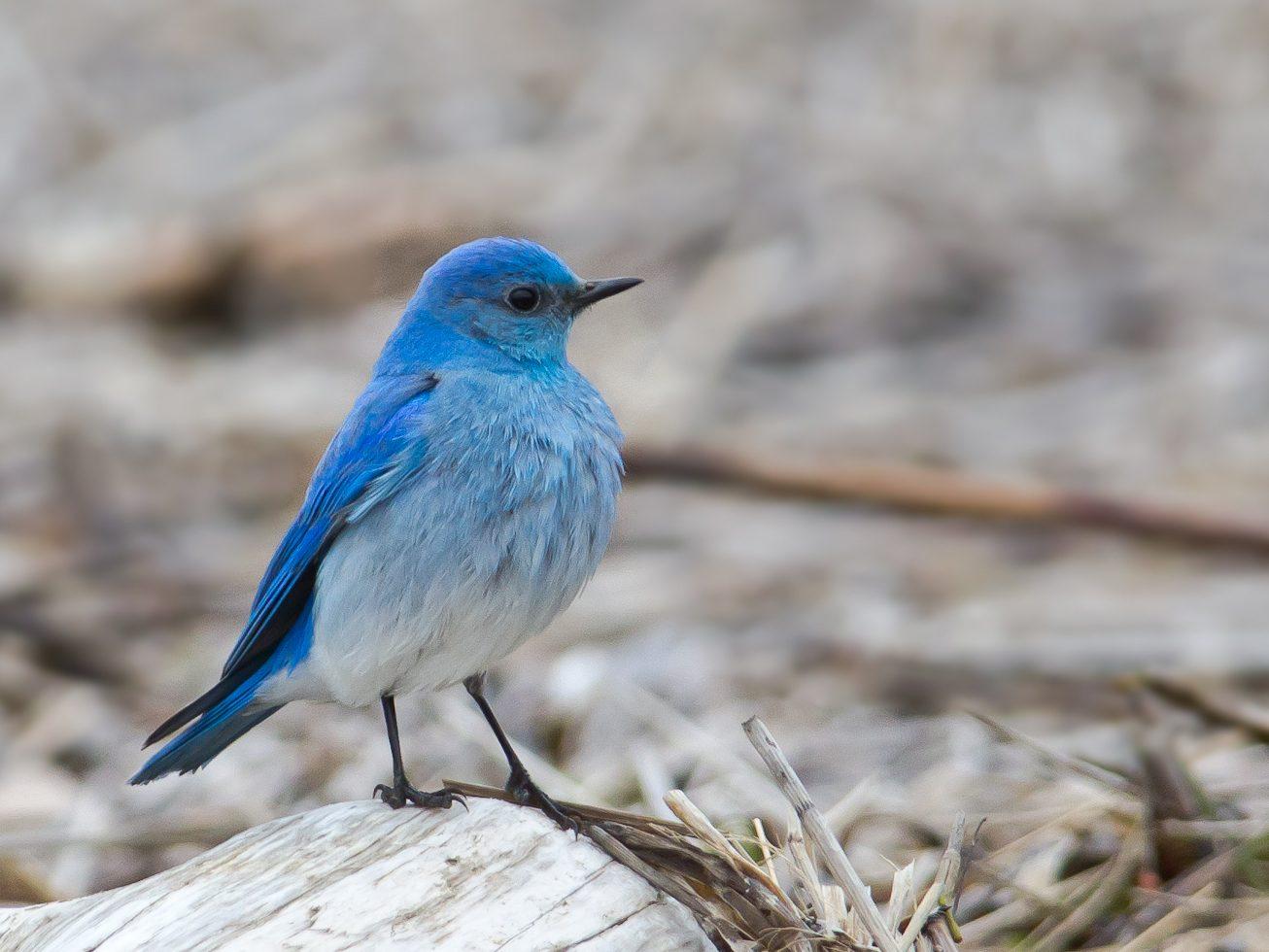 Moody Bluebird