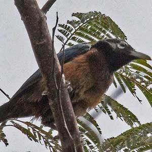 World's Strangest Birds: Blue Bird of Paradise