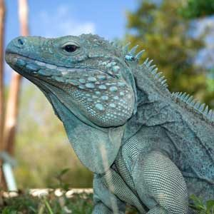 5. See the Blue Iguana