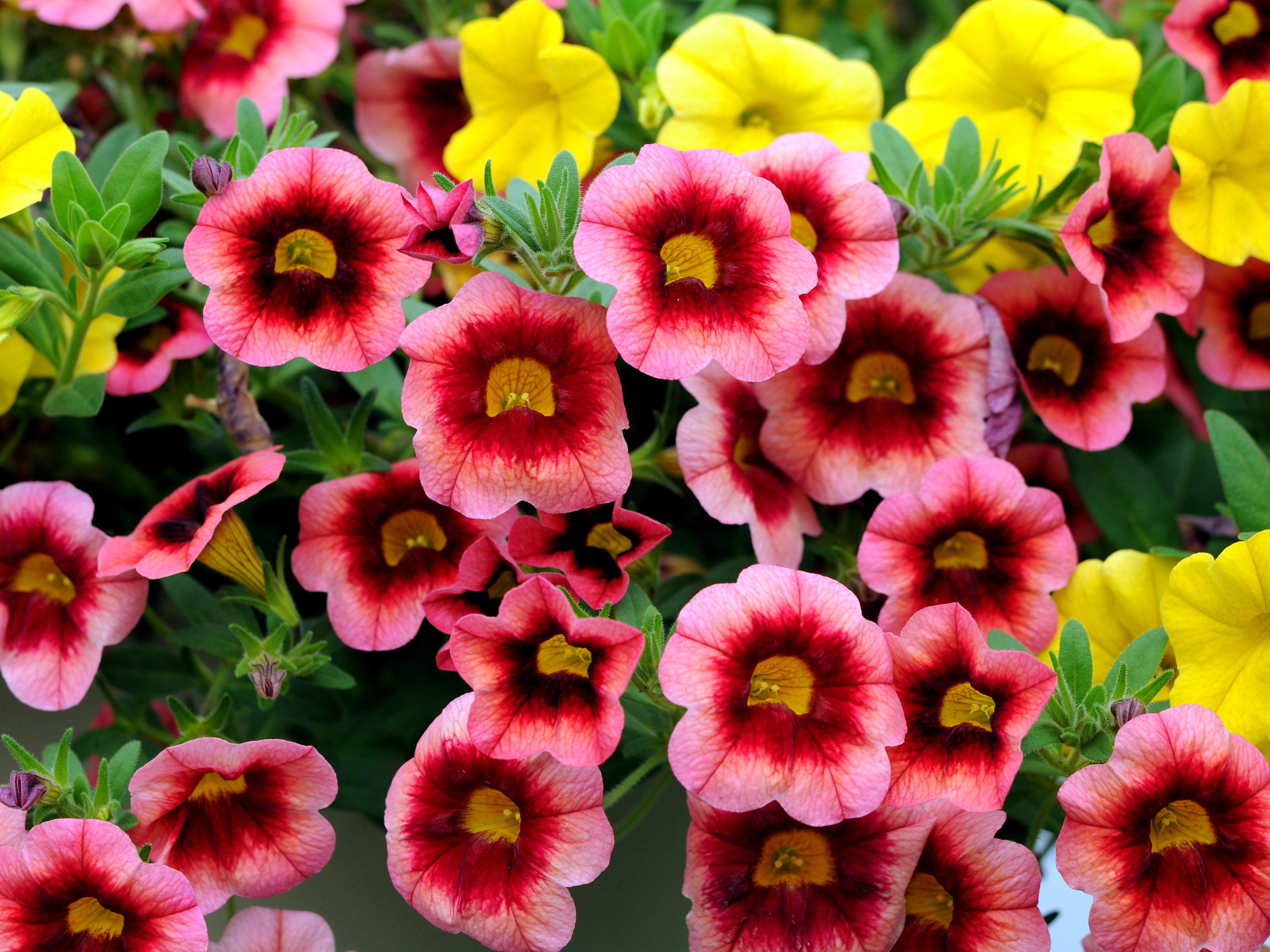 8 annuals that are perfect for container gardening 4 calibrachoa izmirmasajfo
