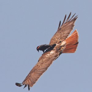 7. Red-Winged Blackbird/Red-Tailed Hawk
