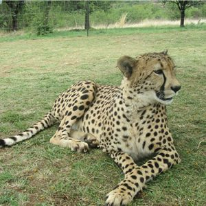 6. South Africa: Cheetah Reintroduction