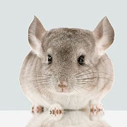 Oldest Chinchilla