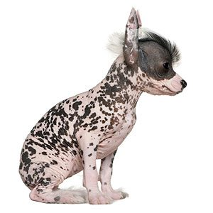 2. Chinese Crested Dog