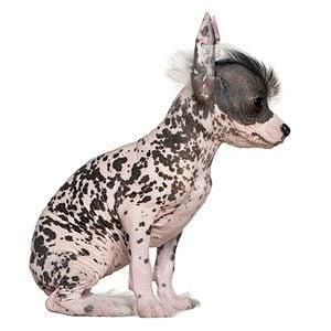 2. Chinese Crested Dog