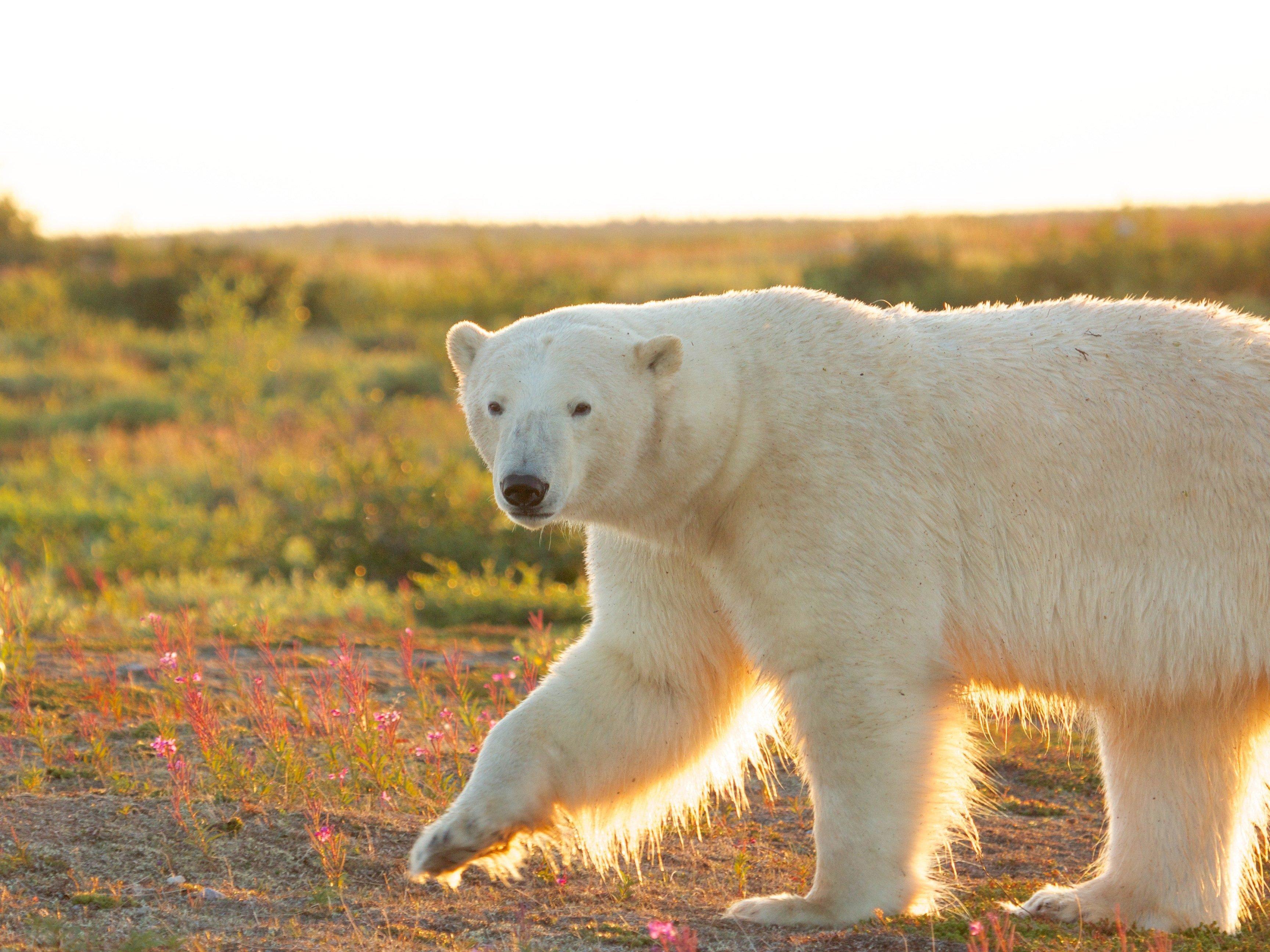 Winnipeg to the Polar Bear Capital, Manitoba