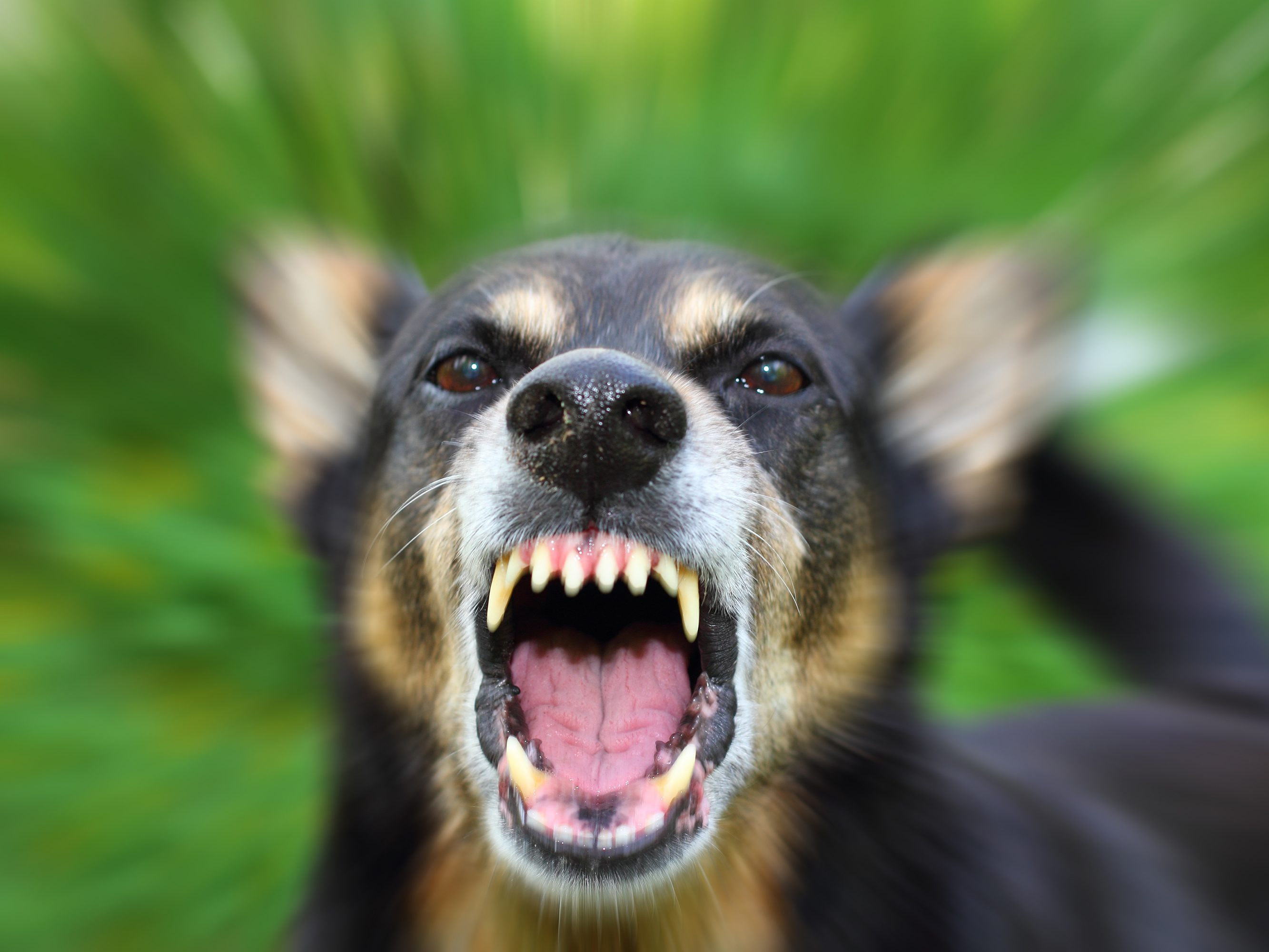 first aid tips for dog and other animal bites reader s digest what to do when a dog bites