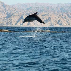 3. Swim with Dolphins in the Red Sea